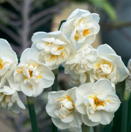 Daffodil - Narcissus 'Bridal Crown'