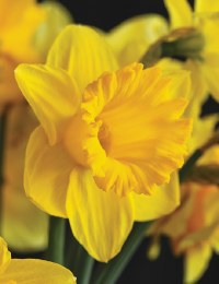 Daffodil - Narcissus 'Golden Trumpets' 5kg