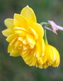 Daffodil - Narcissus 'Pencrebar'