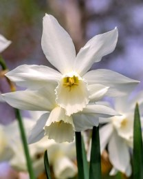Daffodil - Narcissus 'Thalia' 5 Pack