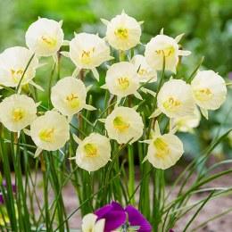 Daffodil - Narcissus 'Artic Bells' 7 Pack