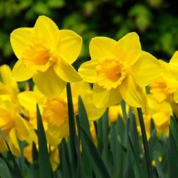 Daffodil - Narcissus Carlton - 2kg