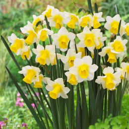 Daffodil - Narcissus Golden Echo