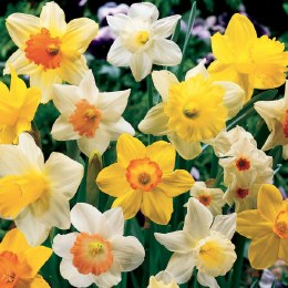 Daffodil - Narcissus Mixed -2kg Carri Pack