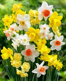 Daffodil - Narcissus Naturalising Mix