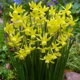 Daffodil - Narcissus 'Hawera' 7 Per Pack