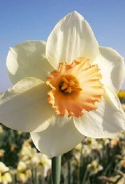 Daffodil Pastel Gem