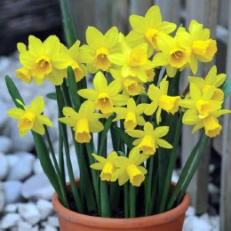Daffodil Tet a Tete in 9cm Pot