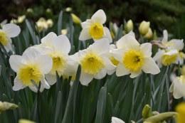 Daffodil - Narcissus 'Ice Follies'  2kg