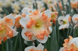 Daffodil - Narcissus Sunny Girlfriend