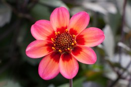 Dahlia 'Dahlegria Tricolore' x1