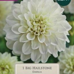 Dahlia Big Hailstone x1