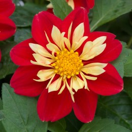 Dahlia Dahlietta Surprise Cindy - 2 Litre