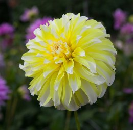 Dahlia Hollyhill Lemon Ice x1