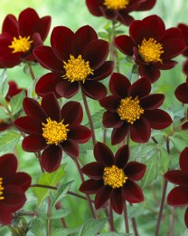 Dahlia Mexican Star - Chocolate scented