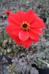 Dahlia 'Bishop of Llandaff'  2Ltr