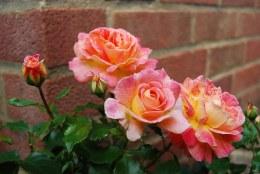 Designer Sunset Patio Rose 3.5 Litre