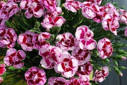 Dianthus Charmy