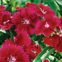Dianthus 'Colores Red' 2L