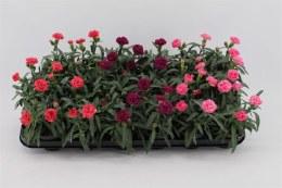 Dianthus 10.5cm Pot Mix Colour