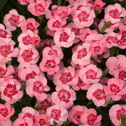 Dianthus Peach Party P10.5