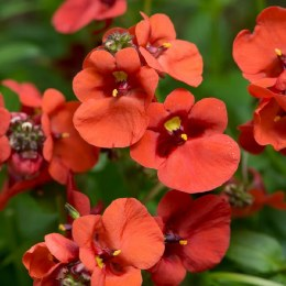 Diascia Orange Miracle
