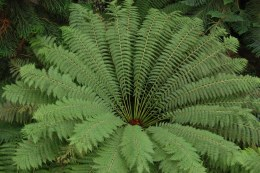 Dicksonia antartica Tree Fern 4 Ft Stem - Stunning - Full with Fronds
