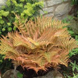 Dryopteris erythrosora | Japanese Wood Fern