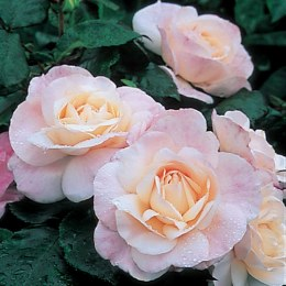 English Miss Floribunda Rose - 3 Litre