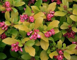 Escallonia 'Gold Brian'