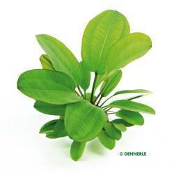 Echinodorus Dschungelstar Nr.2 ´Kleiner Bär´