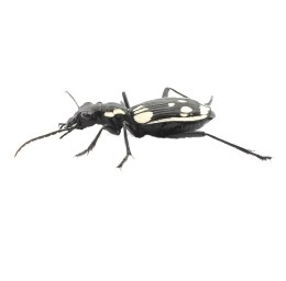 Egyptian Predator Beetle