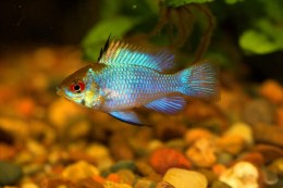 Electric Blue Ram 3""