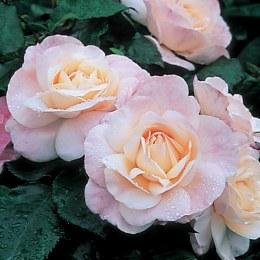 English Miss Floribunda Rose