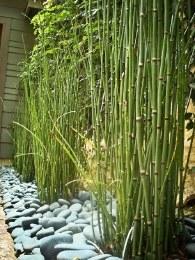 Equisetum Japonicum 18cm