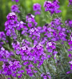 Erysimum Bowles Mauve | Perennial Wallflower