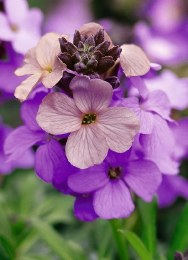 Erysimum Poem Lavender