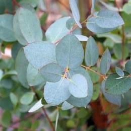 Eucalyptus gunnii - 75cm  4 Litre Shrub Form