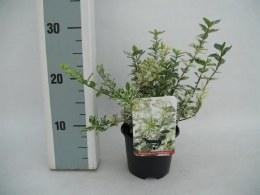 Euonymus Harlequin P13