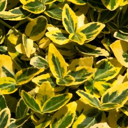 Euonymus fortunei Emerald 'n' Gold' 2L