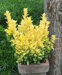 Euonymus jap. 'Goldmine' 1.5 L