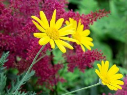 Euryops pectinatus 'Jamaica Sunshine'