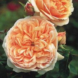Evelyn David Austin Fragrant Rose 6 Litre
