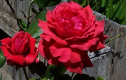 Fragrant Cloud Hybrid Tea Rose - 3 Litre