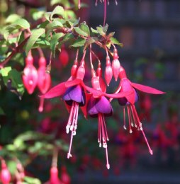Fuchsia Mrs Popple
