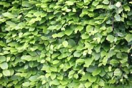 Fagus Sylvatica | Common Beech 60-80cm 2 Litre
