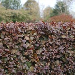 Copper Beech Hedging | Fagus sylvatica 2 Litre 60-80cm