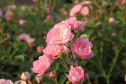 The Fairy Ground Cover Rose