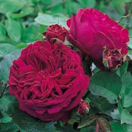 Falstaff David Austin Fragrant Rose 6 Litre