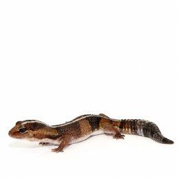 Gecko Fat-Tailed Sub Adult